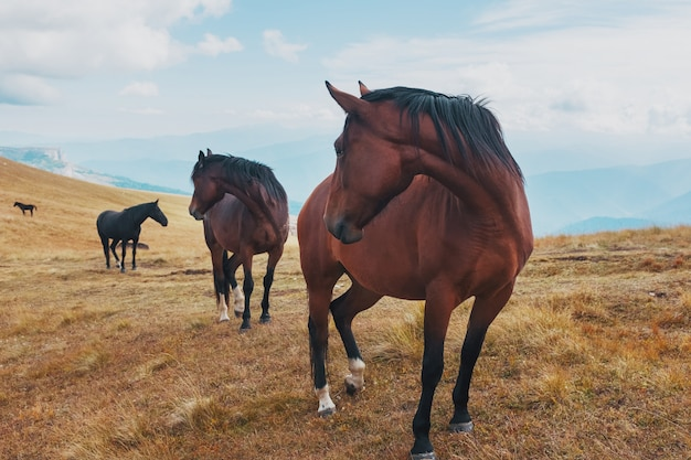 Dark-colored horses graze in the mountains in the mountains. a beautiful herd of horses in the wild
