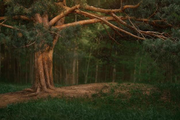 初夏の古いトウヒと松の木のある暗い針葉樹林