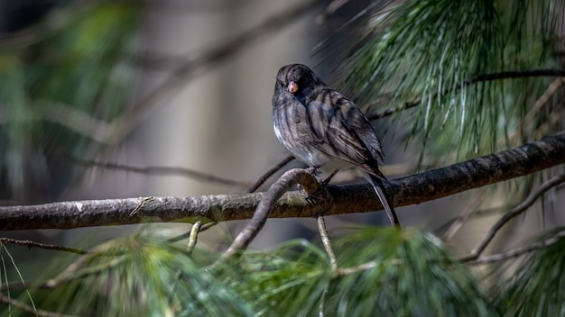 Dark eyed junco on a branch