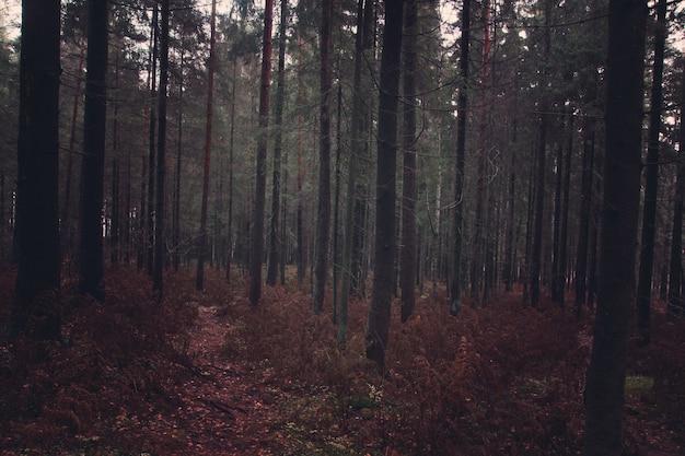 떨어진 바늘과 시든 양치류가있는 가을의 어두운 전나무 숲