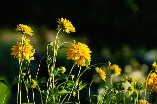 Темный цветочный фон. желтый цвет rudbeckia laciniata золотой мяч, селективный фокус.