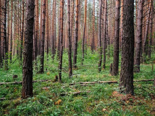 背の高い松の木と暗い森。ウラルの性質