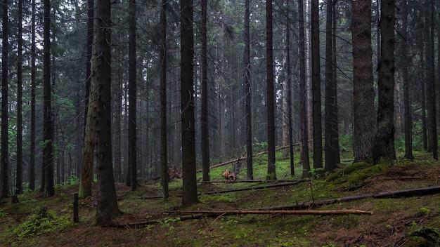 Темный мрачный густой вечерний лес летом