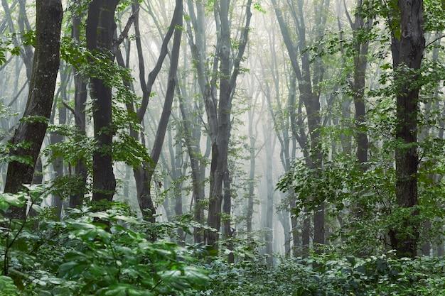 Темный мрачный таинственный лес по утрам. густой туман в густом лесу