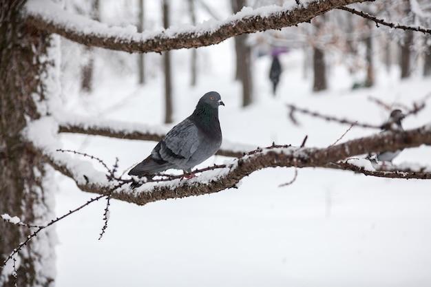 겨울 날에 나뭇 가지에 앉아 어두운 회색 비둘기
