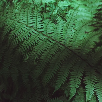 Dark green background and texture of fern leaves