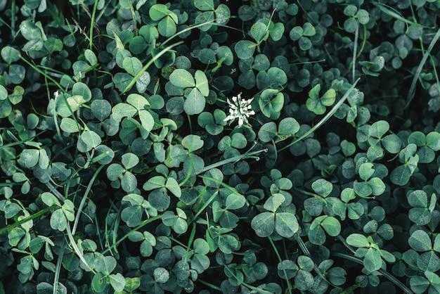 Темно-зеленый клевер оставляет поверхность фона