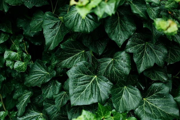 Темно-зеленая листва здорового растения с каплями дождя. зеленый лист с каплями воды для фона