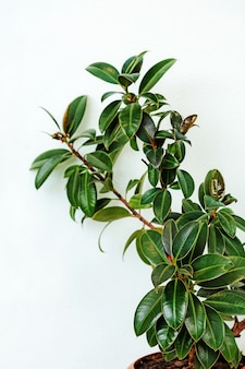 Dark green leaves fig tree plant or ficus species the tropical rainforest tree on white background