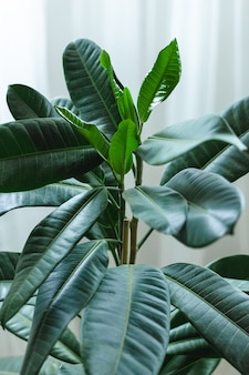 Dark green leaves of indoor plant ficus close up