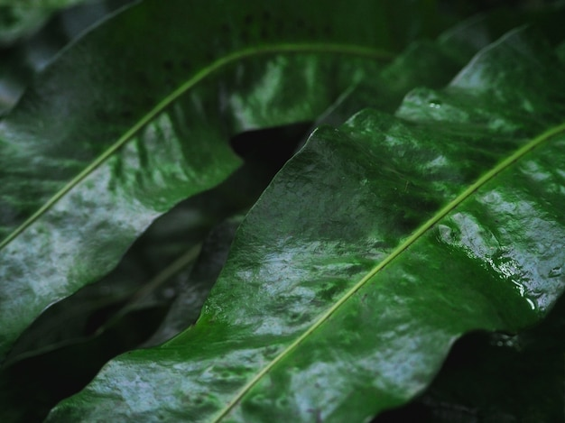 露の滴のクローズアップと濃い緑の葉。マクロの影に雨滴のある豊かな緑。雨天で緑の織り目加工の植物の自然な背景。