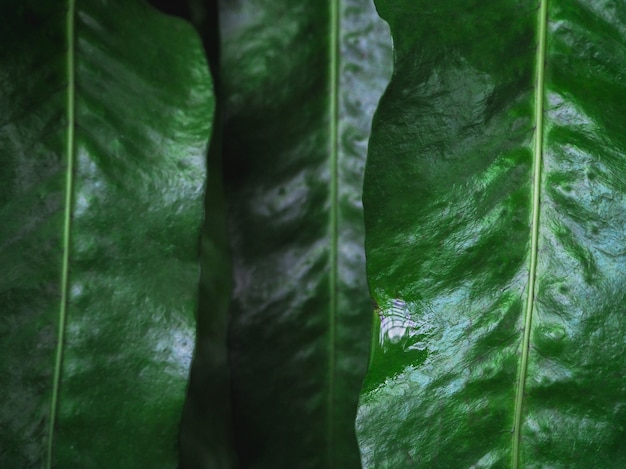 Темно-зеленые листья с каплями росы крупным планом. богатая зелень с каплями дождя в тени в макро. естественная предпосылка зеленых текстурированных заводов в дождливой погоде.