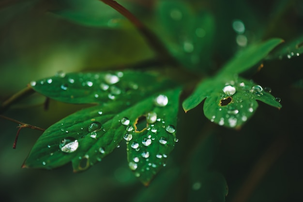 Dark green leaves with dew drops close-up with copy space.