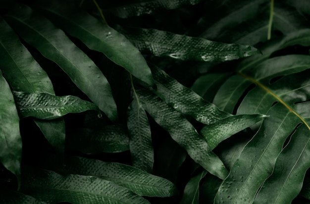 Dark green leaves with water drops in the garden. green leaf texture.