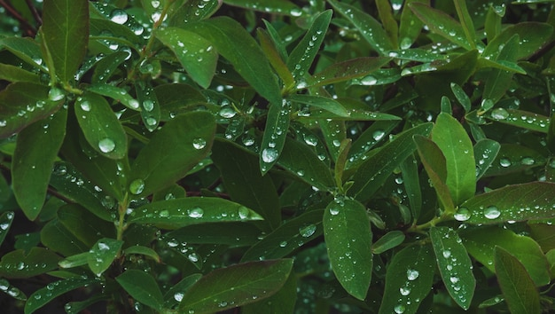 Dark-green plant leaves with many water drops after rain