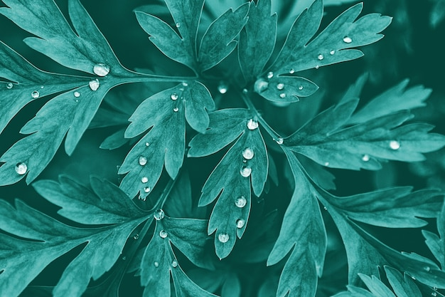 Dark green plant leaves with water drops