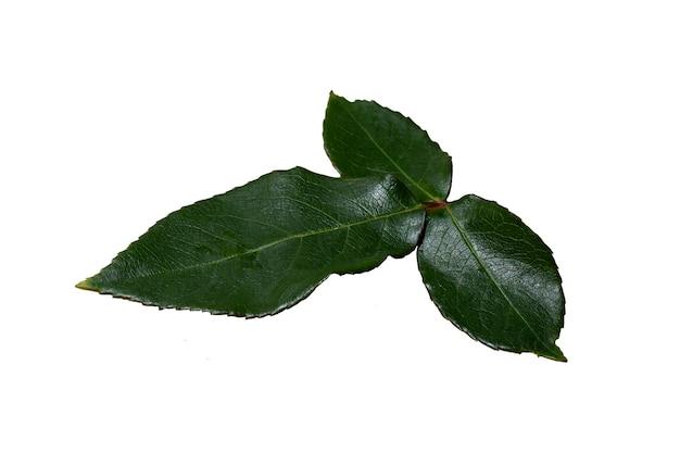 흰색 바탕에 짙은 녹색 장미 잎
