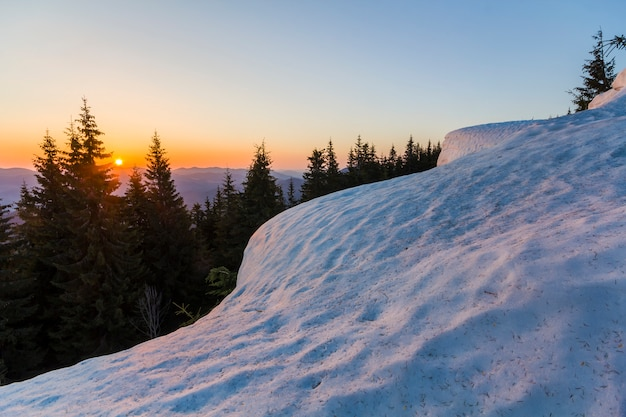 Dark green tops of pine trees behind snowy hill at sunset