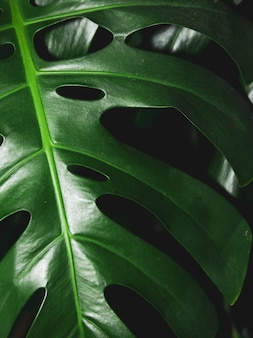 Dark green tropical monstera leaves on black