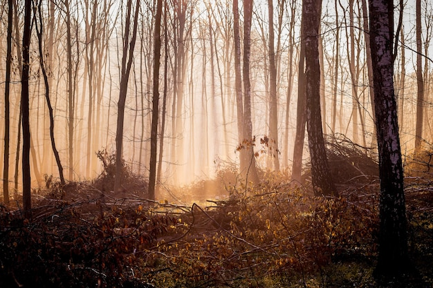 Dark mystical forest in the fall of the morning, light penetrates through the fog