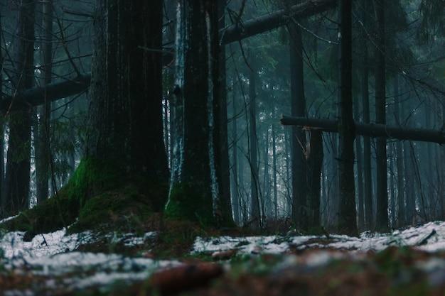 낮에 어두운 자연 침엽수 림. 부러진 나무, 낙엽, 이끼 및 눈.
