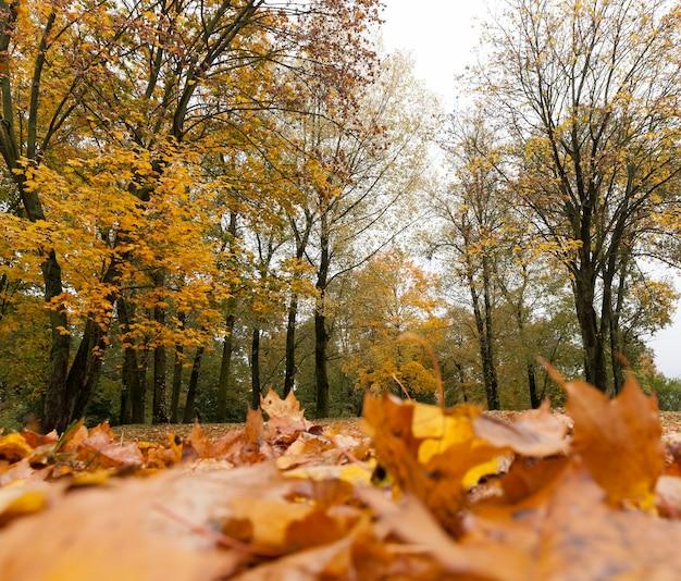 秋の季節に地面に横たわり、カエデの枝にある濃いオレンジ色の葉。紅葉が腐り始める秋の真ん中。曇りのある風景。