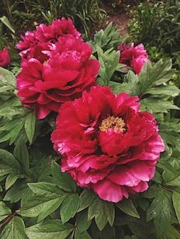 Темно-розовые сиреневые цветы пиона цветут крупным планом