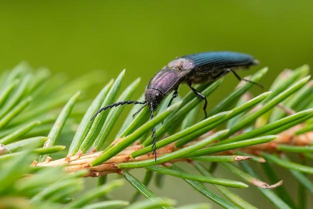 어두운 보라색 딱정벌레 (ctenicera pectionicornis)는 식물에 앉아.