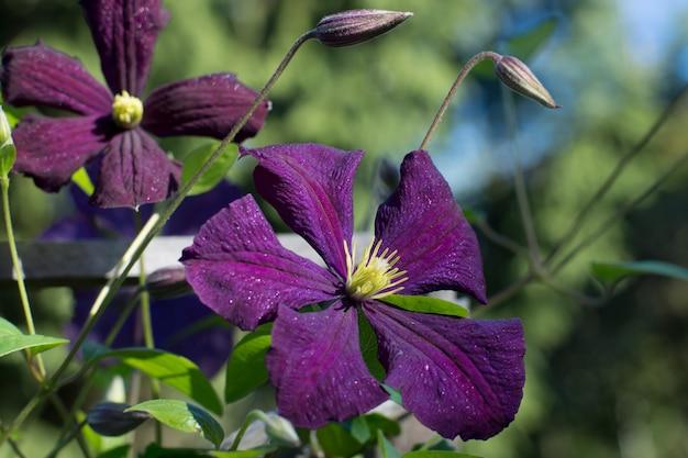 濃い紫色のクレマチスの花で、黄色い雄しべが太陽の下で輝いていますが、つぼみは見えません