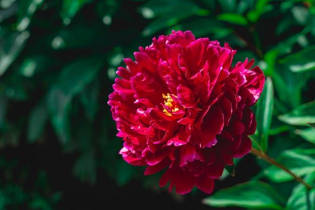 Dark purple peony close up summer  beautiful big fluffy flower garden burgundy peony on green