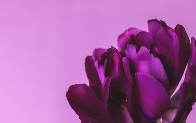 Dark purple tulip on a pink background