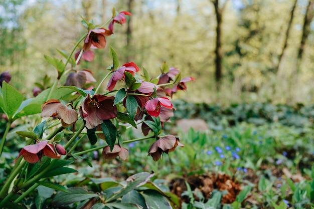 A dark-red hellborus blooms in the spring