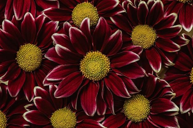 Темно-красный с желтыми хризантемами. цветочный фон
