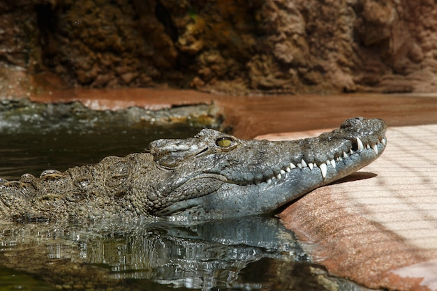 Dark skinned green crocodile in bright sunlight floating in water
