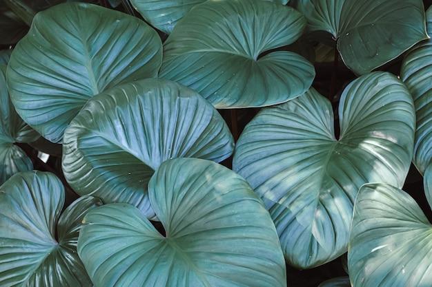 Темный оттенок зеленых листьев в форме сердца растения гомаломена, произрастающего в дикой тропической природе