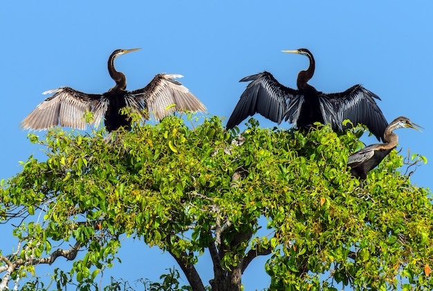 Дартер в дикой природе на острове шри-ланка