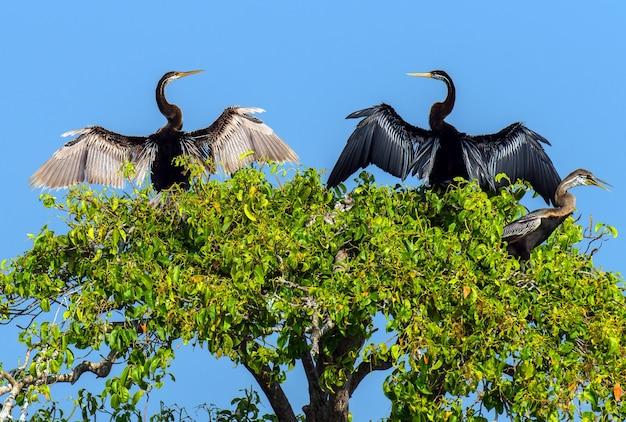 Darter in the wild on the island of sri lanka