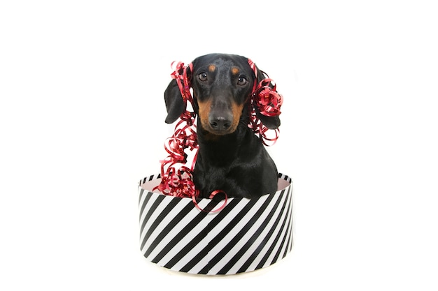 Дашчундский собачий подарок на рождество