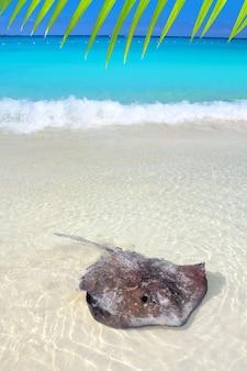 カリブ海のビーチでアカエイdasyatisアメリカーナ