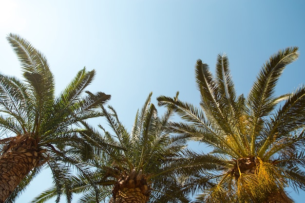 Date palm on the background of a clear blue sky, the concept of summer, mockup, the background for the inscription. copy space.