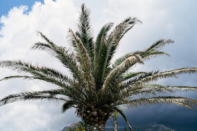 Корона финиковой пальмы на фоне голубого неба и белых облаков