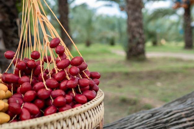 かごの中のナツメヤシ果実