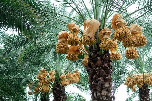 ナツメヤシの木