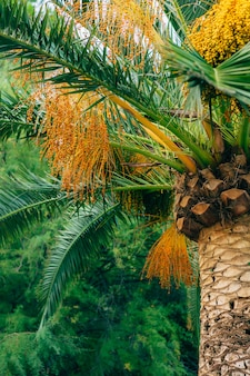 Date palm in montenegro fruit on palm tree