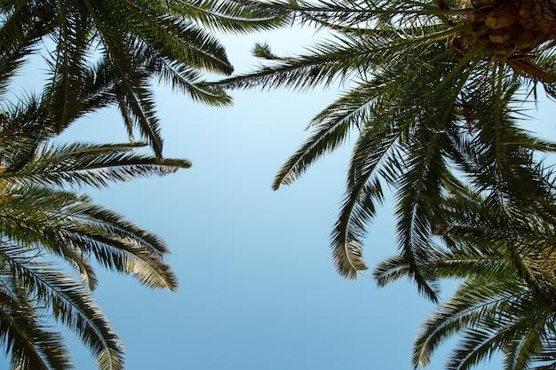 澄んだ青い空、夏の概念、モックアップ、碑文の背景の背景にナツメヤシ。スペースをコピーします。