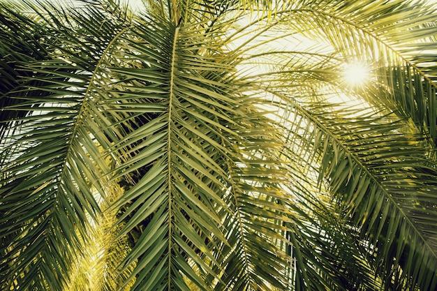 Конец дерева финиковой пальмы вверх при солнечный свет увиденный через листья. красивая природа bakground