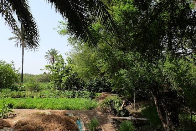 甘い食用果実で栽培されているヤシ科のナツメヤシ