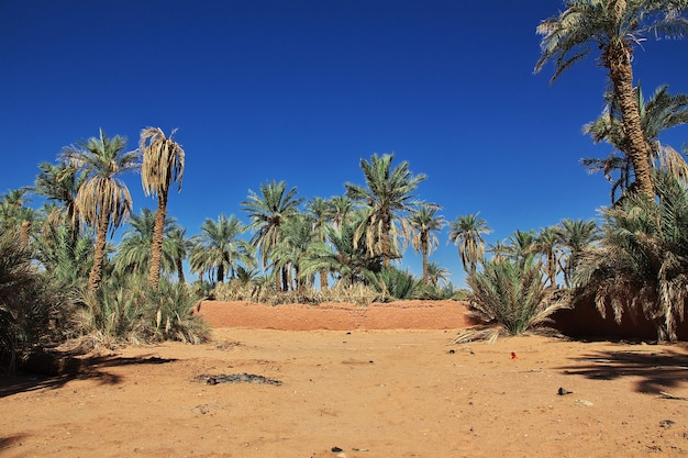 The date palm tree in timimun abandoned city in sahara desert of algeria