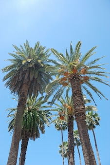 Date palm trees on blue sky