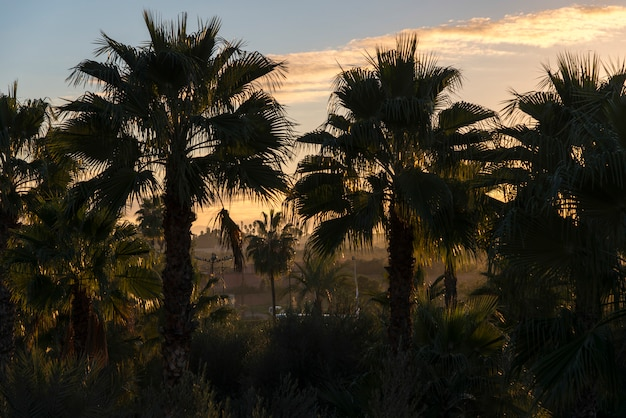 Date palm trees at sunrise, marrakesh, morocco